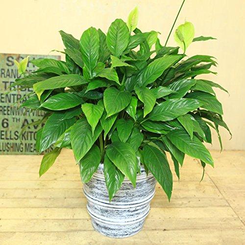 観葉植物:スパティフィラム*クロエポット 受皿付