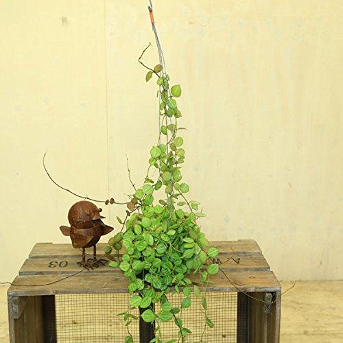 ディスキディア 吊り鉢