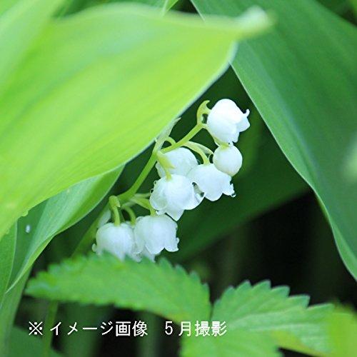 山野草:日本スズラン 素掘り苗5株【紫桜館山の花屋】