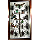 Real表示Insect Taxidermy Big Set inボックスfor Collectibleギフト# 01