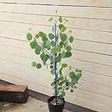 庭木:ユーカリ ポポラス  樹高:約100cm 大株