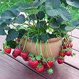 いちご 苗 カレンベリー 9cmポット苗 枯れないベリー イチゴ