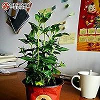 シードグリーン野菜の種バルコニー鉢植えペッパーチックシード種子約200個/ロット
