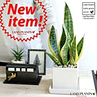 LAND PLANTS 空気清浄 サンスベリア (ローレンチ) 白色 キューブ陶器鉢 Sサイズ