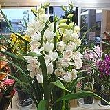 蘭の鉢花 シンピジューム鉢植え 【白:ホワイト】 お祝い・誕生日・お礼などの花ギフトに