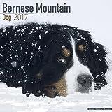 Bernese Mountain Dog Calendar 2017 (Square)