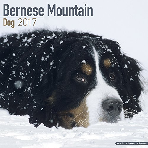 『Bernese Mountain Dog Calendar 2017 (Square)』のトップ画像