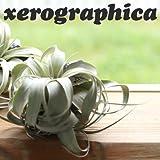 エアープランツ チランジア キセログラフィカ Sサイズ