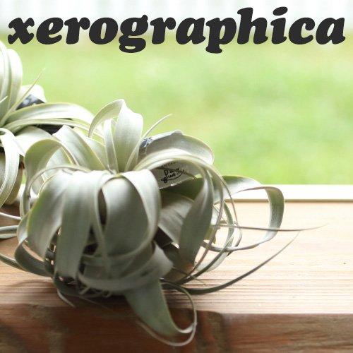 RoomClip商品情報 - エアープランツ チランジア キセログラフィカ Sサイズ