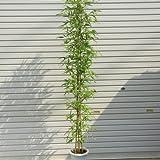 庭木:ホテイチク(布袋竹) (ポット植え) 樹高:約120cm 全高140cm