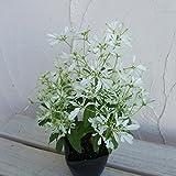 ユーフォルビア:白雪姫3号ポット 3株セット[白い小花が咲きあふれる!大人気の品種] ノーブランド品