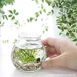 (水草)私の小さなアクアリウム ~マリモとウィローモス~(1セット) 説明書付 本州・四国限定[生体]