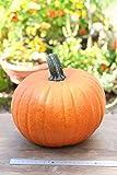 ハロウィンかぼちゃMサイズ(生カボチャ) 飾り南瓜 ジャック・オー・ランタン用