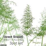 (観葉植物)ハーブ苗 フェンネル スイート 3号(3ポット) 家庭菜園