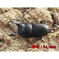 国産 コクワガタ 成虫 Mサイズペア(♂30.0mm~39.0㎜ ランダム) 【生体】
