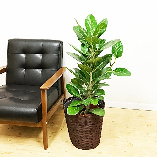 RoomClip商品情報 - フィカス ベンガレンシス ゴムの木 観葉植物 鉢カバー付 ベンガルゴム ベンガルゴムの木 インテリア 大型 中型