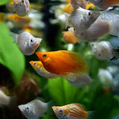 (熱帯魚)ミックスバルーンモーリー(約3cm)<4匹>[生体]
