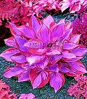 販売!100pcs /パックホスタ盆栽多年草プランタン美しいユリフラワーホワイトレースホームガーデングラウンドカバー植物、#1W8T65:6
