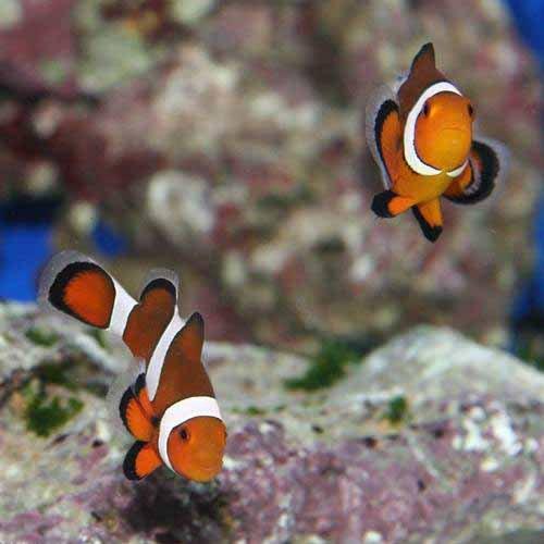 (海水魚) 沖縄産 カクレクマノミ Mサイズ(ワイルド)(1匹) 本州・四国限定[生体]