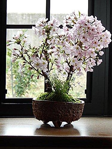 御殿場桜盆栽