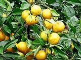 【6か月枯れ保証】【秋に収穫する果樹】ミカン/極早生温州 15cmポット