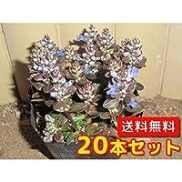 【ノーブランド品】アジュガ・チョコレートチップ/9cmポット【20本セット】