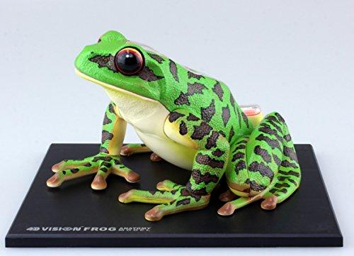 スカイネット 立体パズル 4D VISION 動物解剖 No.05 カエル解剖モデル