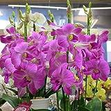 蘭の花 デンファレ 陶器鉢植え すっきりしたスタイル 花 ギフト