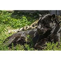 黒ヒョウ動物 - #35923 - キャンバス印刷アートポスター 写真 部屋インテリア絵画 ポスター 90cmx60cm