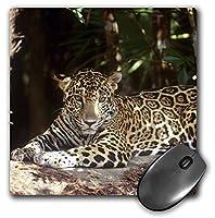 3drose LLC 8x 8x 0.25ベリーズジャガーin the Jaguar Preserve Gregジョンストンマウスパッド(MP 85540_ 1)