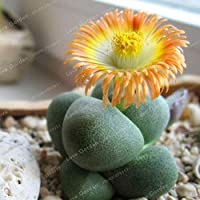100個多肉植物盆栽生の家の庭のために石の花石の花バニーストーン花盆栽の盆栽:17