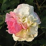 スイフヨウ(酔芙蓉):楠玉(くすだま)5号ポット[一日のうちに花色が変わるふっくらと優雅な八重咲き] ノーブランド品