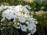 カルミア(白)スティールウッド根巻き大苗 庭木 低木