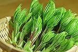 天然山菜コシアブラ(こしあぶら)200g