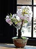 母の日ギフト 桜盆栽