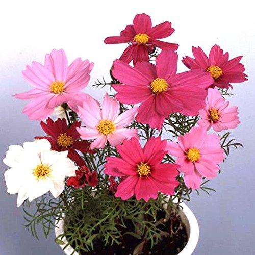 コスモス:花色ミックス(わい性種)3号ポット4株セット ノーブランド品