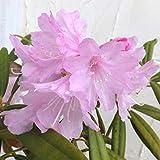 日本シャクナゲ:筑紫石楠花樹高50cm根巻き