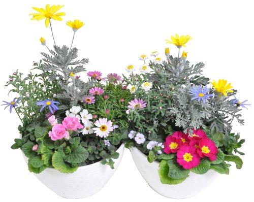 【超お買い得商品】季節の鉢植えプラケース8号 【2個セット】 (宿根・多年草のお花を多く使用しているので、長くお楽しみいただけます!!)