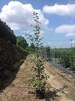 【ノーブランド品】ウバメガシ樹高1.0m前後15cmポット【10本セット】