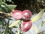 ハーブの苗 オリーブの木 ミッション 3年生大苗 庭木 常緑樹 シンボルツリー オリーブ 苗 苗木