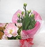 【 花想久里 はなおくり 薄ぴんく 八重咲き チューリップ 5寸 鉢植 生花 】 画像は2月21日撮影です ★ アンジェリケ ★ 優しい ピンク 色でふわふわ 八重咲き品種 の ちゅーりっぷ 今が 旬 フラワーギフト に蕾の内に届けたいので今回は3月7日までがお勧めです。