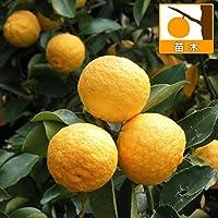 ユズ(柚子):ハナユ(花柚)4~5号ポット[一才柚子 若木のうちから結実 柑橘・かんきつ類苗木] ノーブランド品