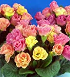 (11月初旬以降お届け予約品) ☆宿根草 バラ咲き プリムラ ジュリアン ピーチフロマージュ  1株