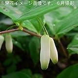 山野草:ミヤマナルコユリ (深山鳴子百合) 9cmポット苗【紫桜館山の花屋】