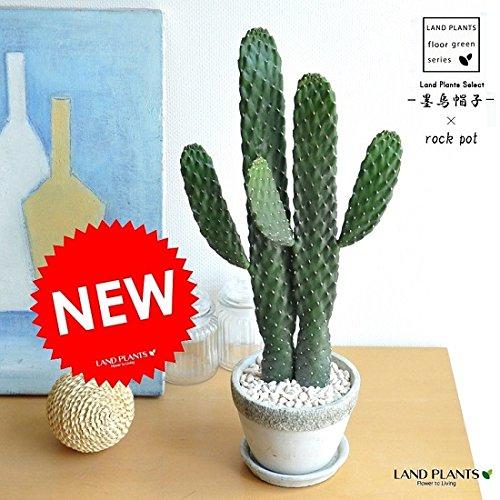 LAND PLANTS サボテン 墨烏帽子 2本立ちロング 石模様セメントポ...