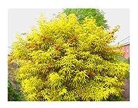 250種子:50 +レッドエルダーベリー種子(Sambucus Racemosa)観賞用低木ツリーCombsh I85