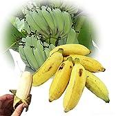 【今が旬】 沖縄県産 銀バナナ 約4kg Banana Party 甘みが強くほどよい酸味 自然本来の味の無農薬国産バナナ