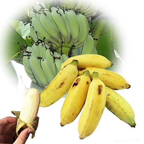 【今が旬】 沖縄県産 銀バナナ 約800g Banana Party 甘みが強くほどよい酸味 自然本来の味の無農薬国産バナナ