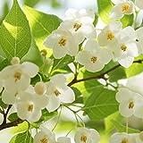 【10本セット】 エゴノキ 樹高0.5m前後 10.5cmポット えごのき エゴの木 白い清楚な花が、枝いっぱいに咲く木 苗木 植木 苗 庭木 生け垣