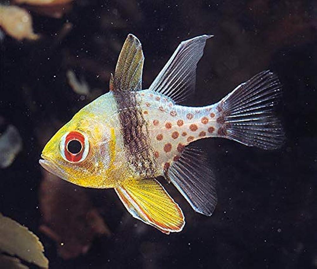 プレーヤー微生物謝る【海水魚/観賞魚/イシモチ】 マンジュウイシモチ ■サイズ:3cm± (1匹)
